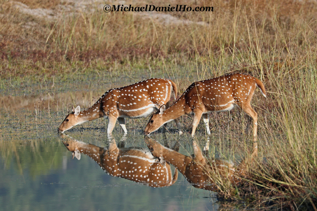 photo of spotted deer drinking in waterhole in india