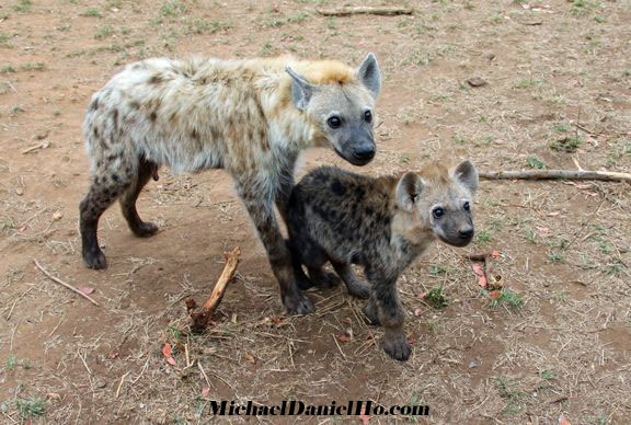 spotted hyena cubs in Africa