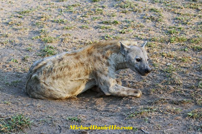 spotted hyena in south africa