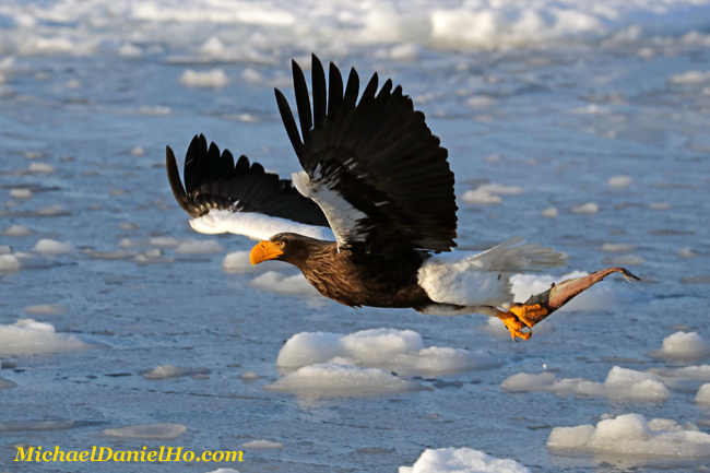 photo of Steller Sea Eagle with fish in flight in Hokkaido, Japan