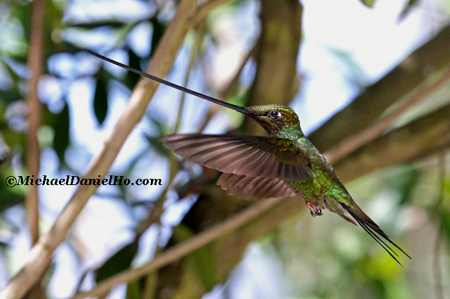 photo of sword billed hummingbird in ecuador