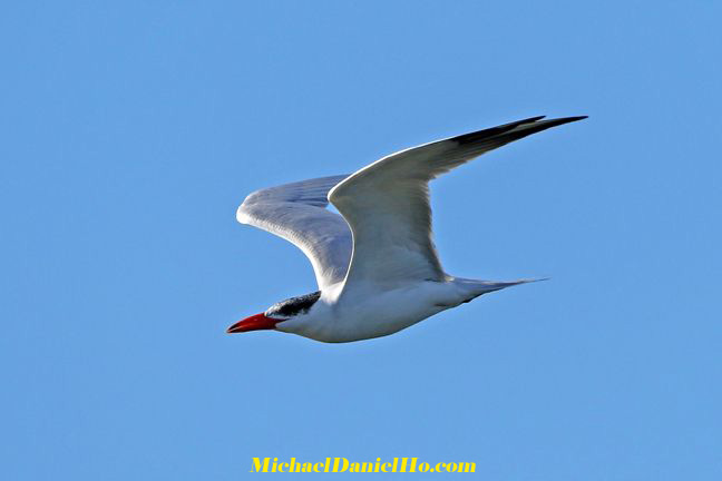 photo of Caspian Tern