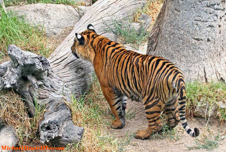 wild bengal tiger photo in india