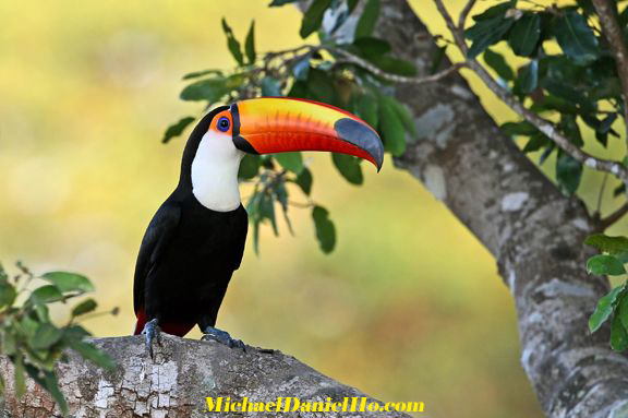 photo of toco toucan