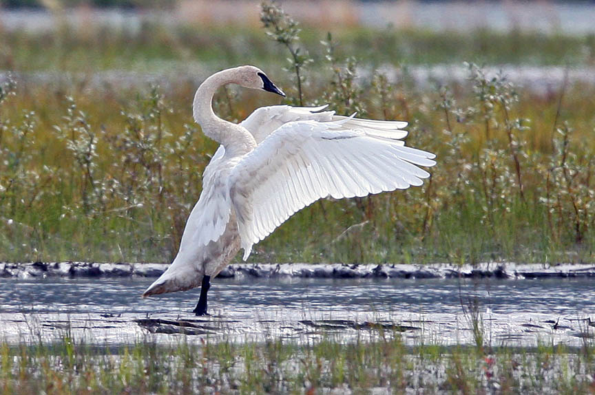 photo of tundra swan