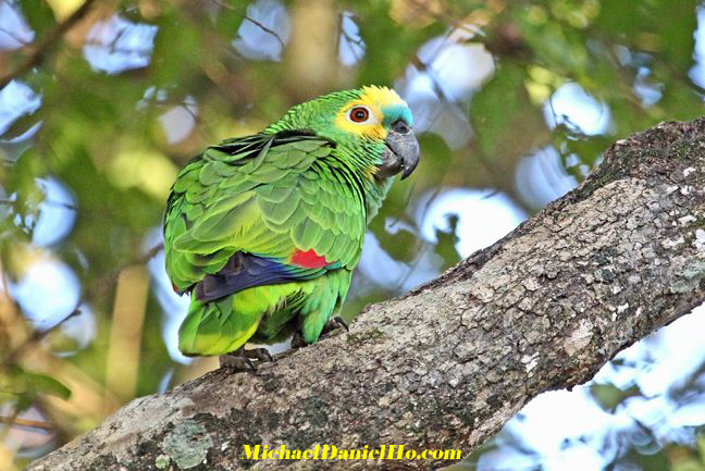 photo of Turquoise fronted Parrot