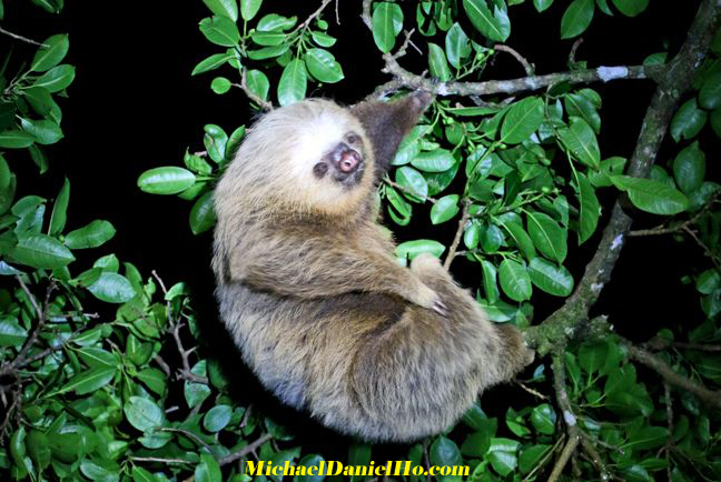 photo of Two toed sloth in Costa Rica