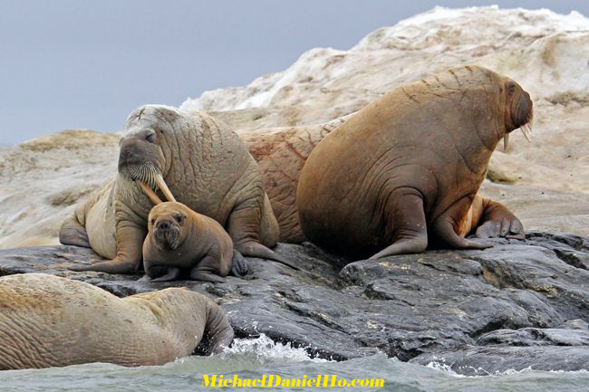 photo of walrus family with pup in svalbard