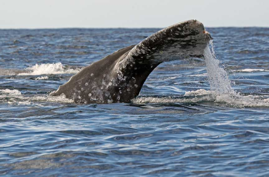 gray whale picture