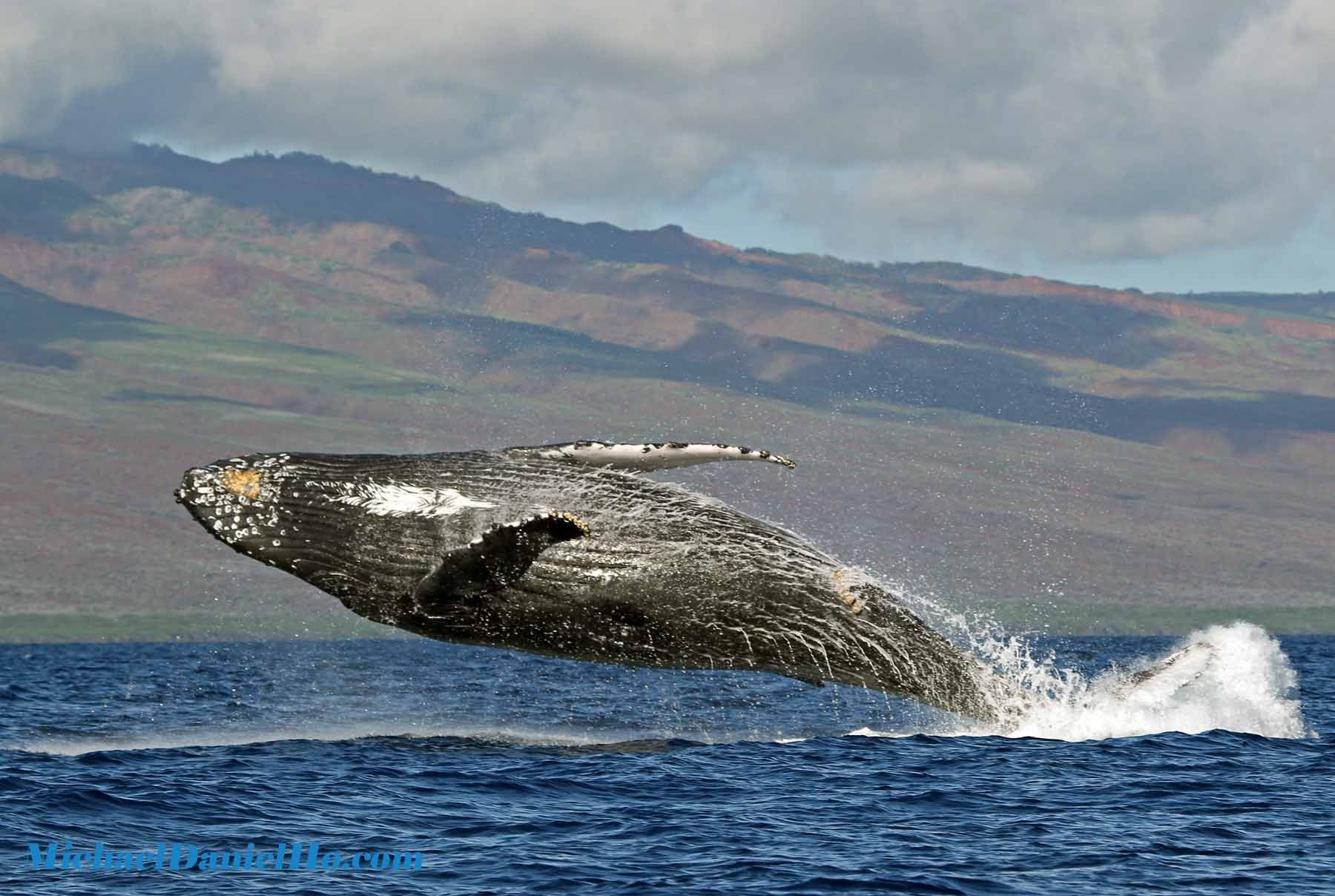 humpback whale breaching in Maui