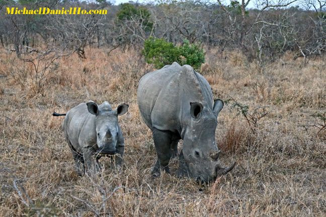 white rhino mom and calf photo