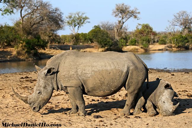 white rhino mom and calf in south africa
