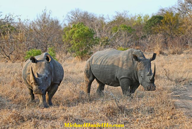 white rhino photos