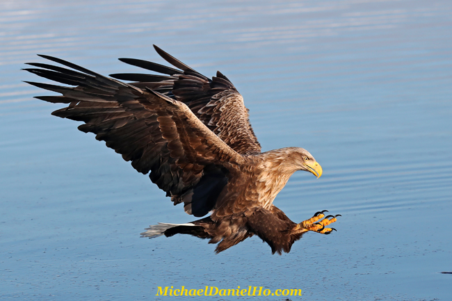 photo of White-tailed Eagle in flight in Hokkaido, Japan