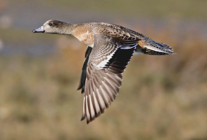 photo of american wigeon