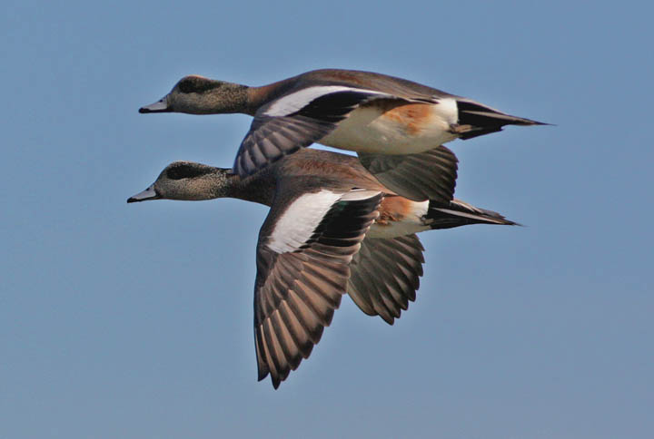 photo of american wigeon duck