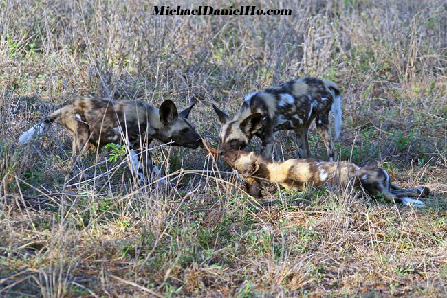 wild dogs pack in africa