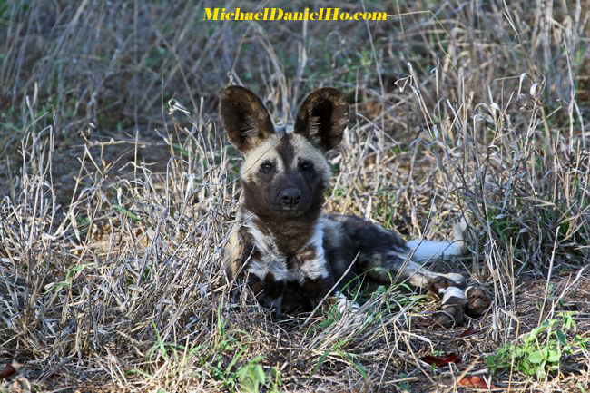 wild dog pups in Africa