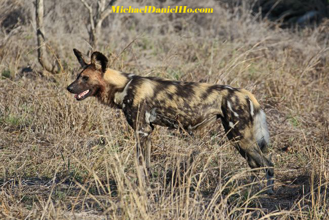 wild dogs pups