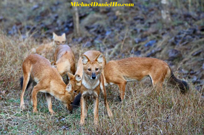 wild dogs pack in India