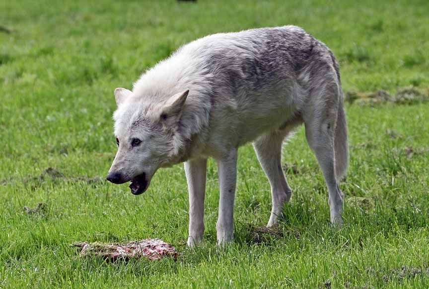 photo of grey wolf
