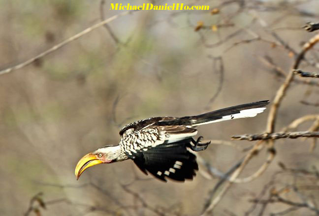 yellow-billed hornbill in South Africa